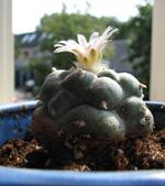 Een bloeiende Peyote!