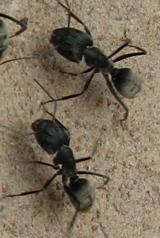 mieren aan 't werk, nee ze zijn niet klein hier!