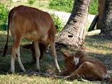 cambodjaanse koetjes